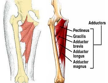 adductor-muscles - flat-out events, Human Body